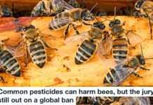 common pesticides can harm bees, but the jury is still out on a global ban