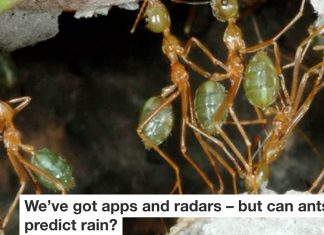Can ants predict rain Header