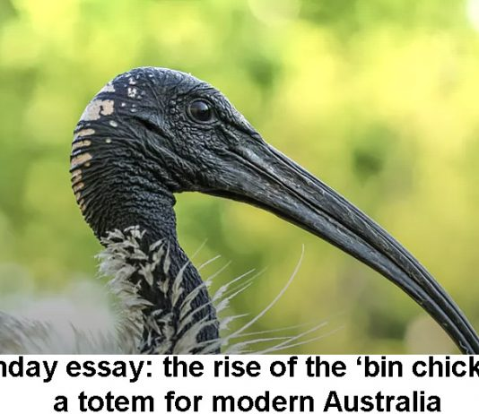 Sunday Essay: The Rise Of The 'bin Chicken', A Totem For Modern Australia