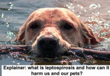 explainer: what is leptospirosis and how can it harm us and our pets?