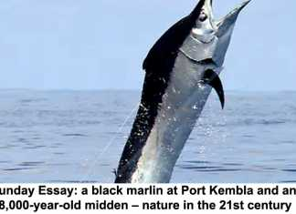 sunday essay: a black marlin at port kembla and an 8,000-year-old midden – nature in the 21st century