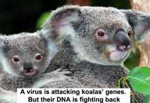 a virus is attacking koalas' genes. but their dna is fighting back