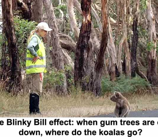 the blinky bill effect: when gum trees are cut down, where do the koalas go?