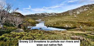 snowy 2.0 threatens to pollute our rivers and wipe out native fish