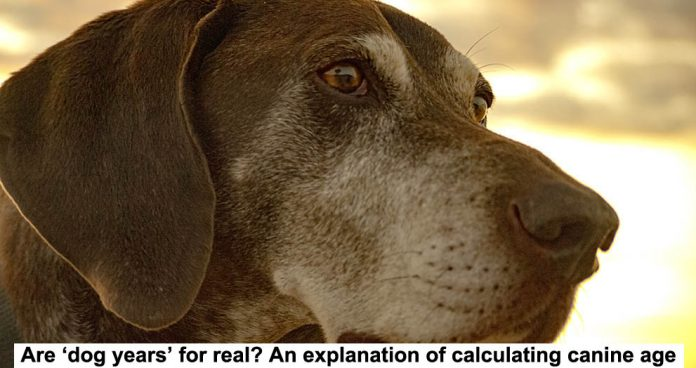 are 'dog years' for real? an explanation of calculating canine age