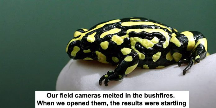 our field cameras melted in the bushfires. when we opened them, the results were startling