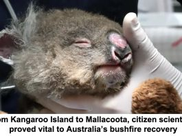 from kangaroo island to mallacoota, citizen scientists proved vital to australia's bushfire recovery