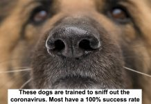 these dogs are trained to sniff out the coronavirus. most have a 100% success rate