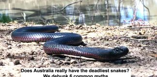 does australia really have the deadliest snakes? we debunk 6 common myths