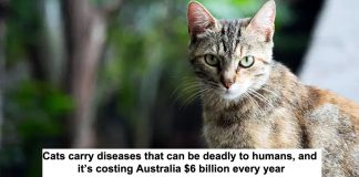 cats carry diseases that can be deadly to humans, and it's costing australia $6 billion every year