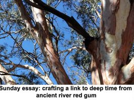 sunday essay: crafting a link to deep time from ancient river red gum