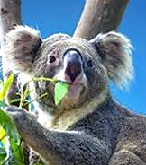 shutterstock drones, detection dogs, poo spotting: what's the best way to conduct australia's great koala count?