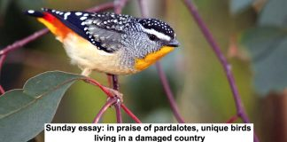 sunday essay: in praise of pardalotes, unique birds living in a damaged country
