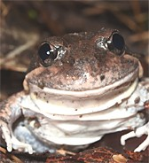 clicks, bonks and dripping taps: listen to the calls of 6 frogs out and about this summer