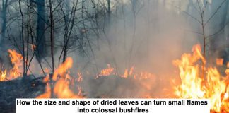 how the size and shape of dried leaves can turn small flames into colossal bushfires