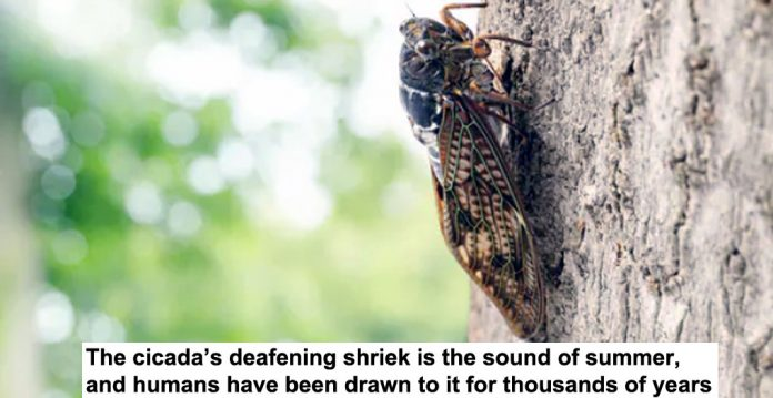 the cicada's deafening shriek is the sound of summer, and humans have been drawn to it for thousands of years