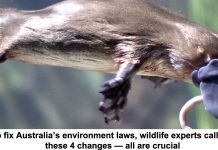 to fix australia's environment laws, wildlife experts call for these 4 changes — all are crucial