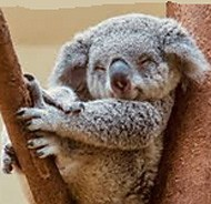 why do we love koalas so much? because they look like human babies