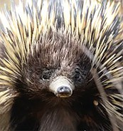 dig this: a tiny echidna moves 8 trailer-loads of soil a year, helping tackle climate change