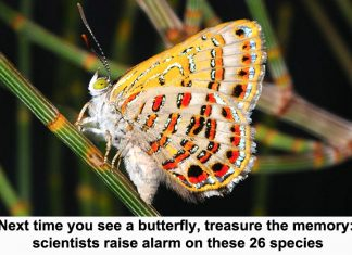 next time you see a butterfly, treasure the memory: scientists raise alarm on these 26 species