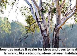 a lone tree makes it easier for birds and bees to navigate farmland, like a stepping stone between habitats