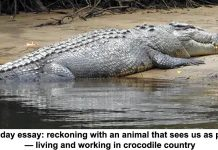 sunday essay: reckoning with an animal that sees us as prey — living and working in crocodile country