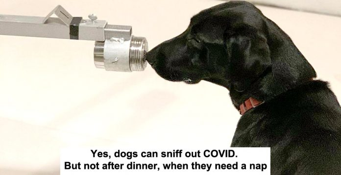 yes, dogs can sniff out covid. but not after dinner, when they need a nap