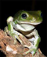 dead, shrivelled frogs are unexpectedly turning up across eastern australia. we need your help to find out why