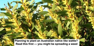 Planting a wattle read this header