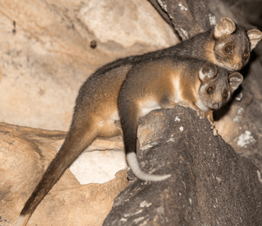 possum removal brisbane: 3 mistakes to avoid