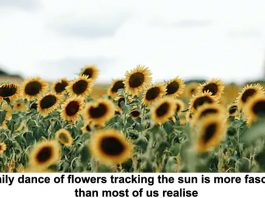 the daily dance of flowers tracking the sun is more fascinating than most of us realise