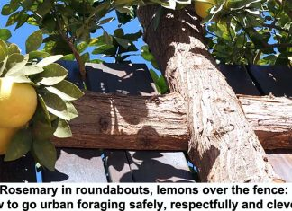 rosemary in roundabouts, lemons over the fence: how to go urban foraging safely, respectfully and cleverly